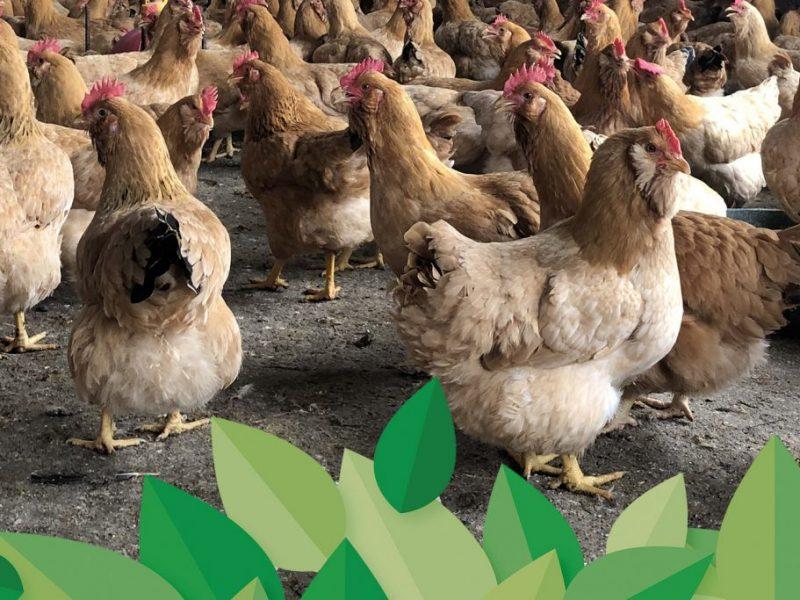 普维动物保健品有限公司, 动物饲料添加剂, 植物提取物, 植物生物素, 精油, PFA, 植物性饲料添加剂, 植物学, 植物性饲料添加剂, 新型促生长剂, 植物素, 替代抗生素促生长剂, 天然产品, 肠道健康, PlusVet Animal Health,养鸡,普维生,普乐壮,饲料添加剂,无抗养殖,植物提取物替代抗生素,